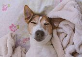 Close Up Sleepy Puppy Jack Russell Terrier Dog Lies With His Head On Blanket poster