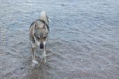 West Siberian Laika Having Fun On The Beach poster