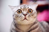 Young Crazy Surprised Cat Make Big Eyes Closeup. American Shorthair Surprised Cat Or Kitten On Sofa  poster
