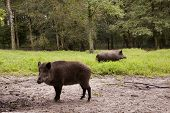 picture of wild hog  - wild boar staying alert in a green forest ready to run - JPG