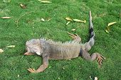 foto of guayaquil  - Land iguana  - JPG