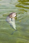 stock photo of porpoise  - Curious Harbour porpoise or Phocoena phocoena in summer sunshine and clear water - JPG