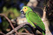 Turquoise-fronted Amazon (amazona Aestiva, Aka Turquoise-fronted Parrot) Yawning. Pantanal, Brazil poster