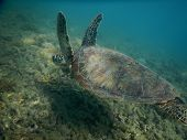 Green Sea Turtle Closeup In Shallow Tropical Sea Water. Sea Turtle Closeup. Snorkeling Or Diving Wit poster