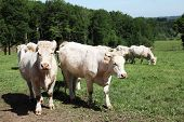 picture of charolais  - Two Charolais cows stand in sunlight in a lush green mountain pasture with the herd in the background - JPG