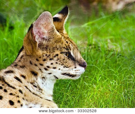 Profile portrait of serval (felis serval)