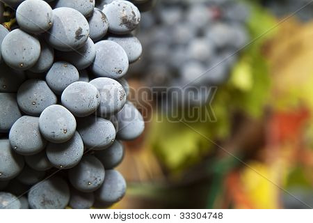 Detail Of Ripe Grapes