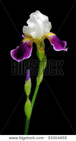 Beautiful Iris On A Black Background