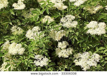 Flowers Of Sureau