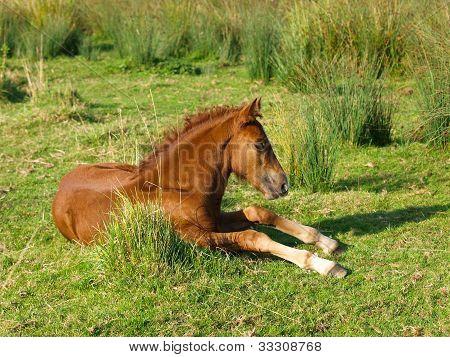 Foal Laying Down