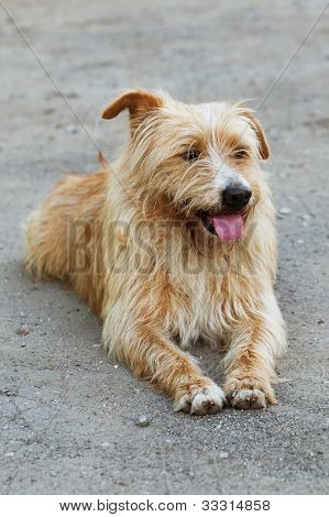 Shaggy Purebred Dog