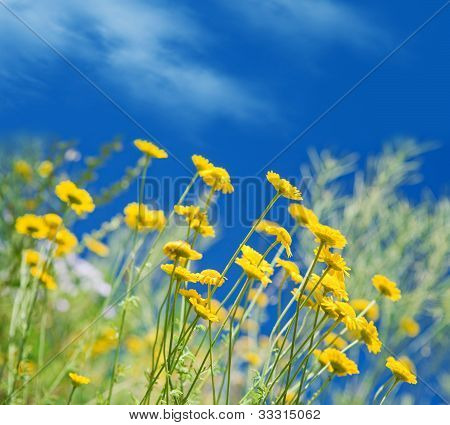 Ox-eye Daisies Against Blue Sky