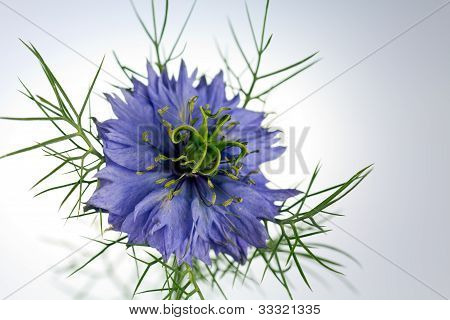 Love  -in - a - mist flower ( Nigella  damascena )