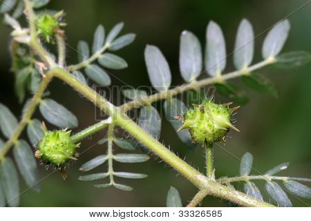 Zygophyllaceae Plant