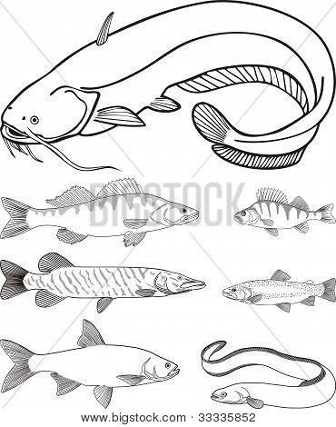 Süßwasser-Raubfisch