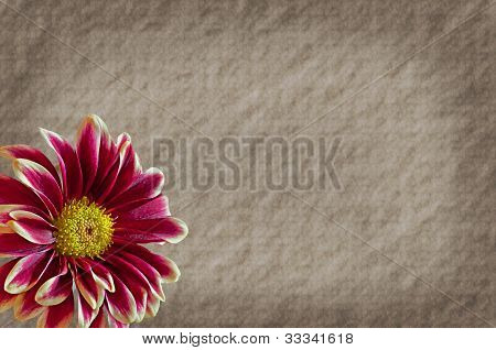 Old Paper Texture With Burgundy Mum Flower Room For Text