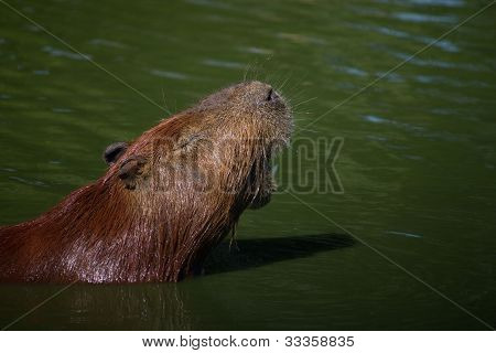 Capybara screaming