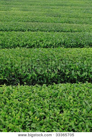 filed in tea farm