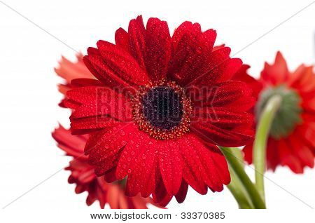 Red Gerbera Flower Close Up
