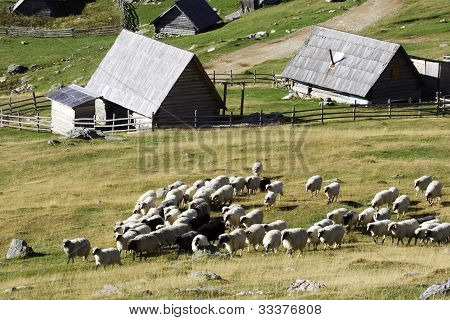 Flock of sheep in the mountain resort