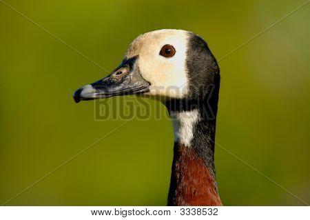 Weißwangenreiher Pfeifen-Ente (Dendrocygna Viduata)
