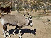 Close Up Of A Gemsbok Oryx Antelope, An Endangered Species poster