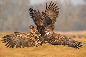 The White-tailed Eagle, Haliaeetus Albicilla Is Sitting In Autumn Color Environment Of Wildlife. Als poster