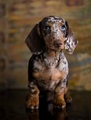 Dogs dachshunds puppy , dog portrait poster