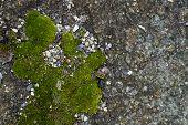 Moss Green Grunge Texture. Moss Background. Green Moss On Grunge Texture, Background. Green Moss Det poster