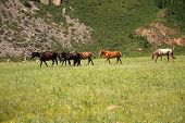 A Group Of Several Horses Is Walking Along The Pasture At The Foot Of A High Hill. Altai, Siberia, R poster