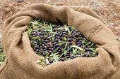 Sackcloth Bag Full On Fresh Olives. Olives Harvesting In Crete, Greece.  Harvest Of Fresh Olives Fro poster