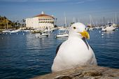 Avalon gull Santa Catalina island