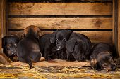 six dachshund puppies 3 weeks old purebred over wooden  background poster