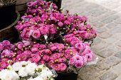 Mum Flowers For Sale At A Market In Copenhagen, Denmark.  Chrysanthemum poster