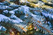 Branches Of Blue Spruce Covered With Snow. Winter Decoration. Blue Spruce Branch Close Up. Evergreen poster