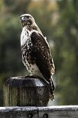 Close Up Of A Red Tail Hawk (buteo Jamaicensis) On A Weathered Wooden Post With Out-of-focus Backgro poster