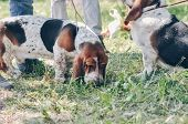 Tricolor Beautiful Adorable Basset Hound Staying On Grass. Basset Hound Hunting Dog Looking For Snif poster