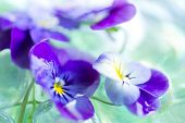 pic of viola  - Purple Pansies Close Up in Glass Vase - JPG