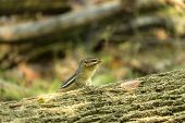 Eastern Chipmunk (tamias Striatus)  On The Park - Eastern North America Natural Scene From Wisconsin poster