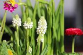 Muscari Armeniacum Album - White Grape Hyacinth, Armenian Grape Hyacinth, Garden Grape-hyacinth poster