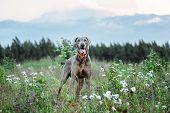 Cheerful Weimaraner Standing On Field In Dusk poster