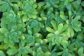 Succulents Plants, Top View. Aeonium Lindleyi Plants.succulent Plant For Landscape Design. Green Pat poster