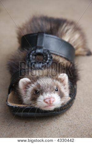 Ferret Footwear
