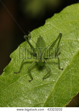 Juvenile Speckled Bush Cricket (Leptophyes punctatissima)