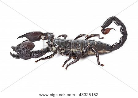 Emperor Scorpion Isolated On White