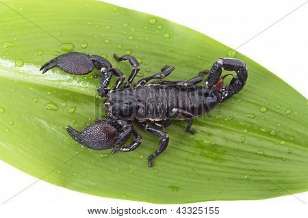 Scorpion On A Green Leaf