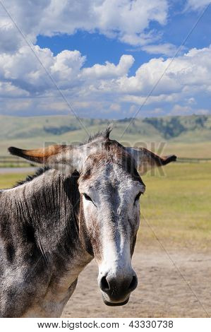 Portrait Of A Gray Burro