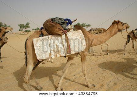 camel hauling salt in the sahara desert