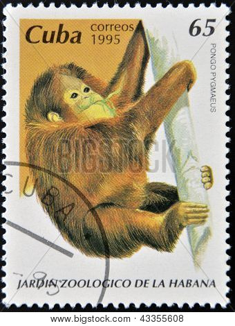 A stamp printed in Cuba shows pongo pygmaeus