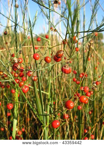plant of asparagus officinalis with red berries
